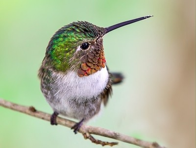 HummingbirdCloseUp