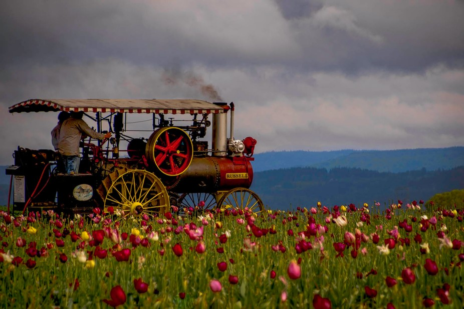 Old Steam Tractor in Tulip fields