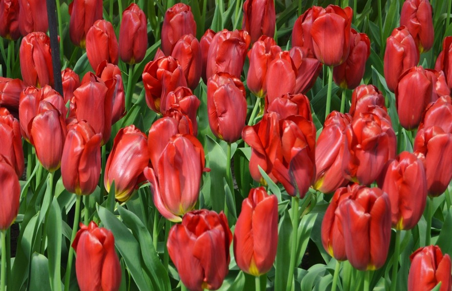 From my trip to the beautiful tulip gardens of Keukenhof, Holland