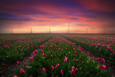 Windmill Tulips
