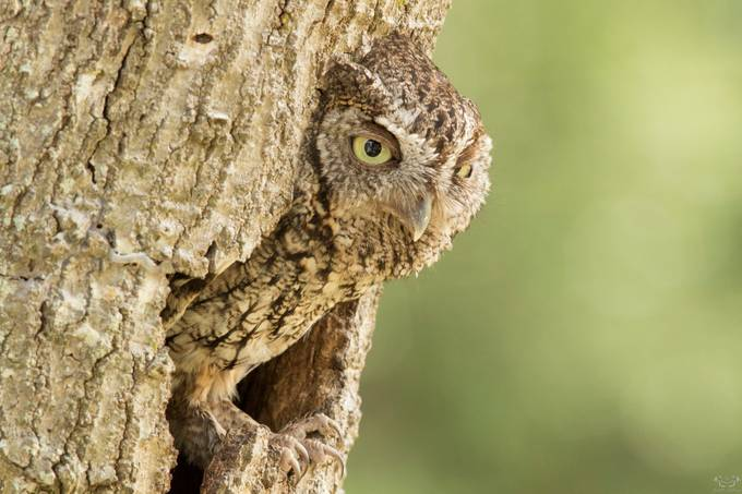 Screech Owl On The Nest VS7A3799 by scotthelfrich - Beautiful Owls Photo Contest