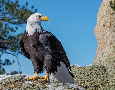 Bald Eagle on Moss Rock (1 of 1)