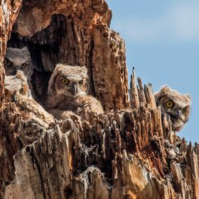 Four Great Horned Owlets sit in their cavity nest waiting for the mother owl to return with prey.