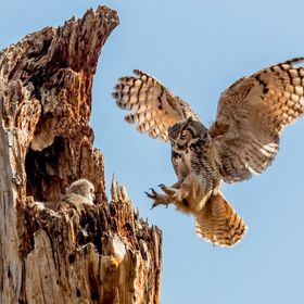 A female Great Horned Owl returns to her nest with one of her four owlets visable waiting for her .