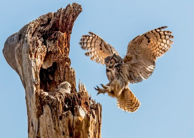 Mother Great Horned Owl Returns to Nest