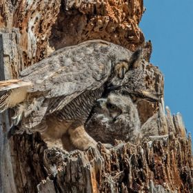 A female Great Horned Owl shows affection to one of her four owlets in the nest.