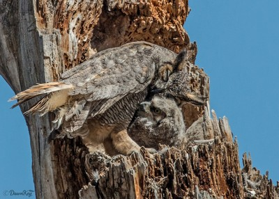 Great Horned Owl Affections