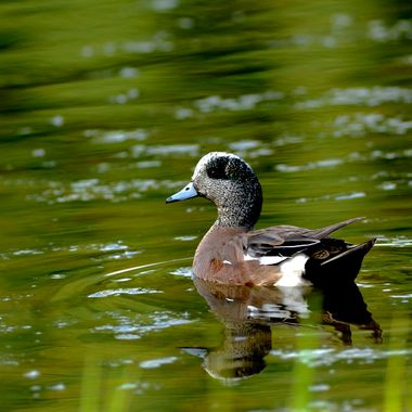 This American Widgeon was in a little pond in the green space of Muskoseepi Park in Grande Prairie, Alberta,