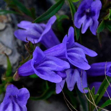 The blue penstemon is found on rocky hillsides.  This shot was taken on a rocky hillside just outside of Cache Creek, BC