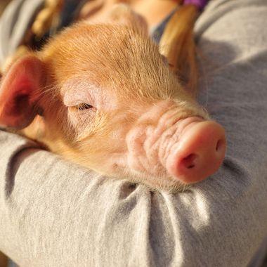 child holds a newborn pig