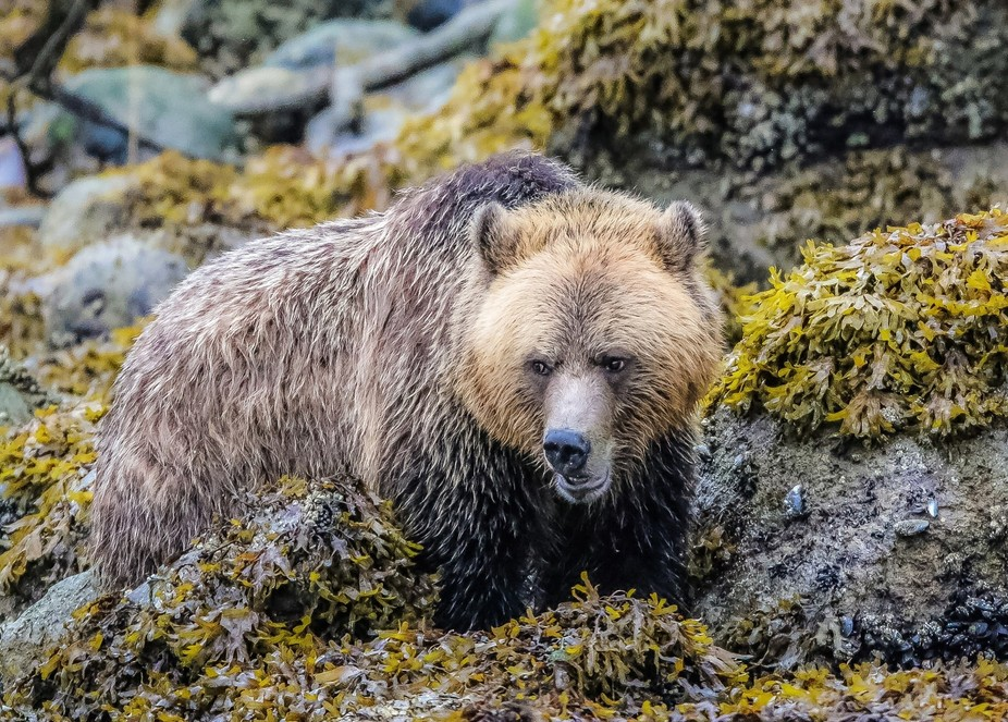 Sea shore feasts are only possible if your prepared to get in , get wet and feast, as this grizzl...