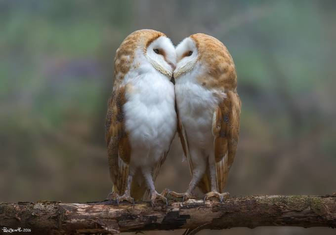Owls in love by lesarnott - ViewBug Photography Awards