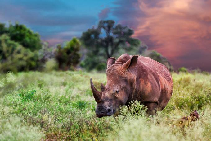 Rhino sunset by mauritzchristiaanjaneke - Rule Of Seconds Photo Contest vol1
