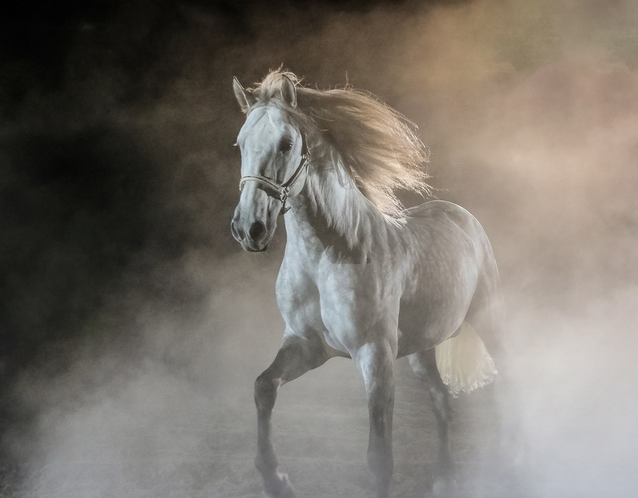 This beautiful stallion  cantering around his yard in the morning mist.