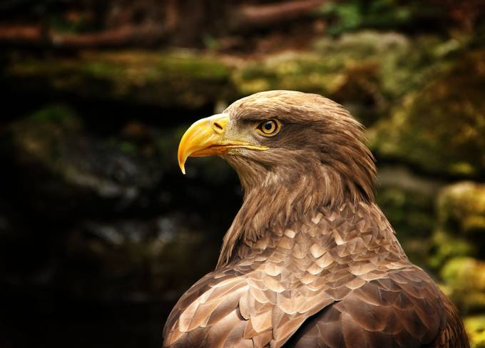 Angry look by daliaa - Just Eagles Photo Contest