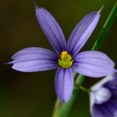Blue eyed grass, seen near Waterton National Park, Alberta