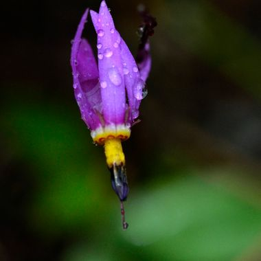 I saw this shooting star in the ditch near the east gate of Waterton National Park