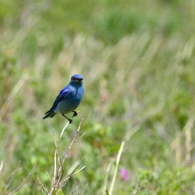 I saw this little bluebird on the fence of the bison enclosure in Waterton National Park