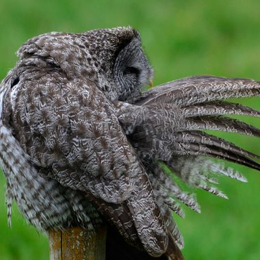 Great grey owl preening his wing on a fence post