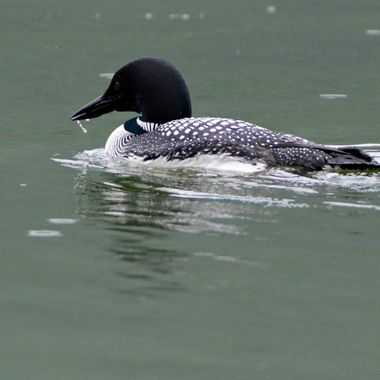 The loon had just lifted her head from the water, so there was still water dripping when I took the photo.  I have seen this loon in Jasper National Park every year for the last 4 years