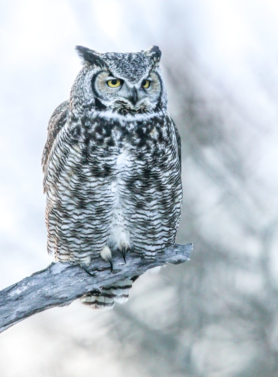 Quiet Time by regwiest - Beautiful Owls Photo Contest