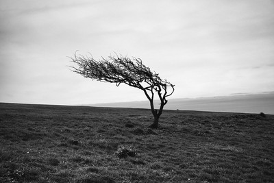 Windswept tree (UK)