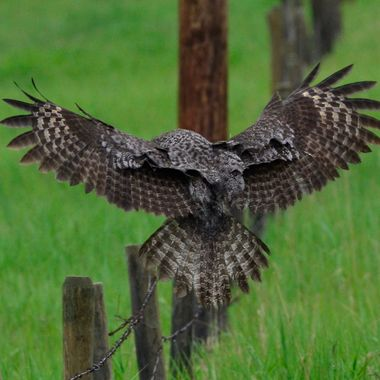 The great grey owl had taken off from one fence post, and I caught him just before he landed on this fence post
