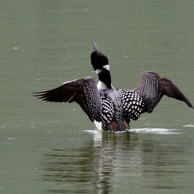 My favorite loon, in Jasper National Park, was shaking off the water after surfacing from a dive