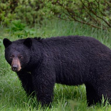 This blackbear was in Nordegg, just east of Jasper National Park, in 2012.  It had been raining all day.  He had a very mesmerizing gaze