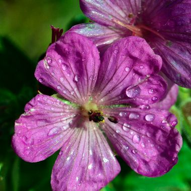I saw this phlox in Jasper National Park, during a rain.  I was entranced by the water droplets on the petals
