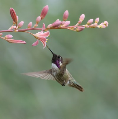 Male Costas Hummingbird