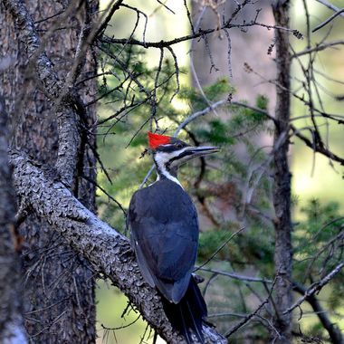 "The pileated woodpecker is the largest of the woodpeckers, getting up to 19"" in length.  I watched this fellow fly around Patricia Lake in Jasper National Park for about half an hour May 2015"