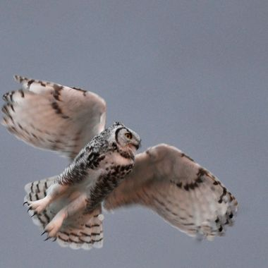 I saw this owl in Hanna, Alberta, in the evening.  This is the first time I'd ever seen a white phase great horned owl.