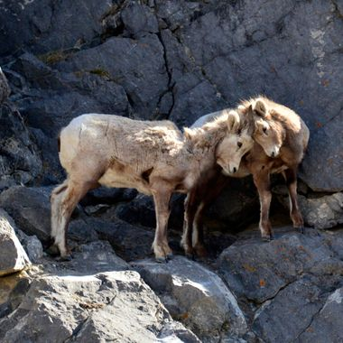 The bighorn lambs were butting heads on the bluff in Jasper National Park.  The one on the right had been showing a lot of fear about moving on the cliff face