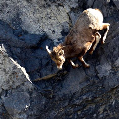 The bighorn ewe was jumping from rock to rock very quickly, on the bluff in Jasper National Park