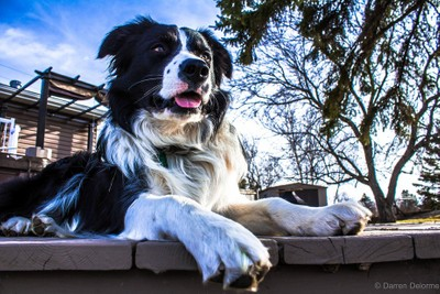 Watching over the fields. Max the mighty border collie.