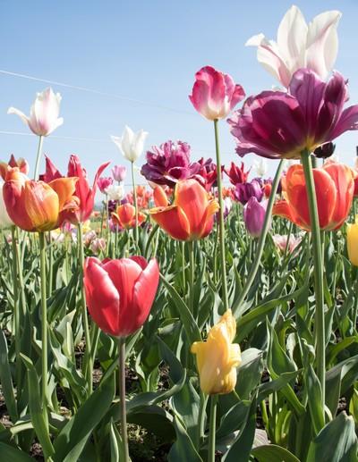 Tulips_2016-04