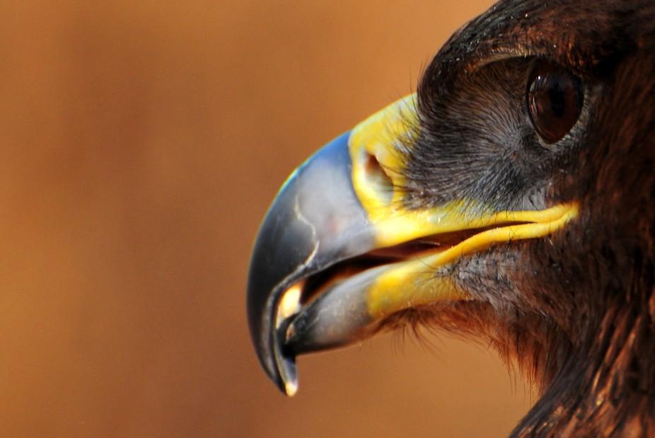 a falcon, a glamour.