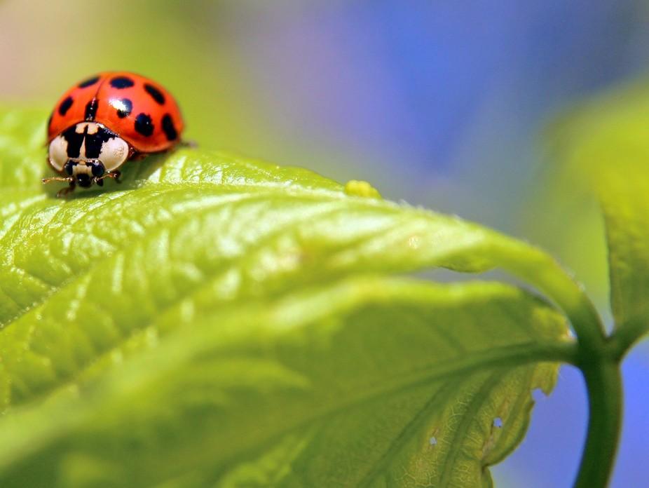 Ladybug walking across leaves in the evening light.