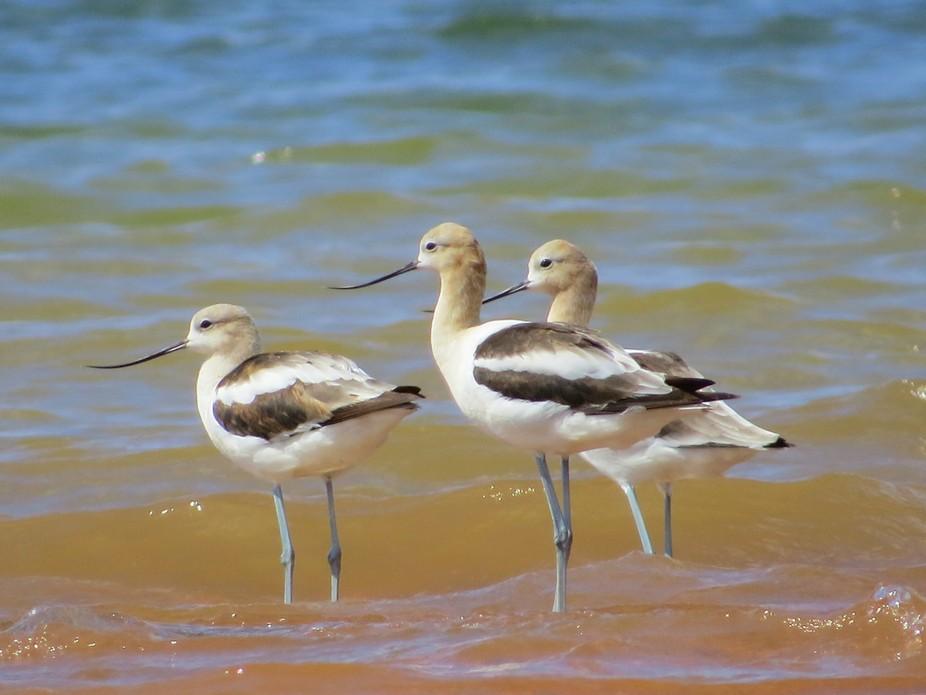 These birds showed up 200 miles inland at Lake Norman North Carolina.