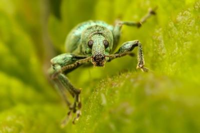 Green Beetle Portrait