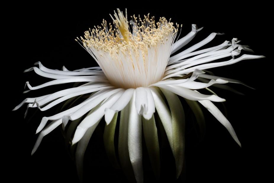 White Cactus Flower Acanthocereus Night Bloom
