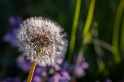 Dandelion 'Clock'