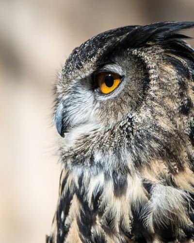 Eagle Eyed Owl