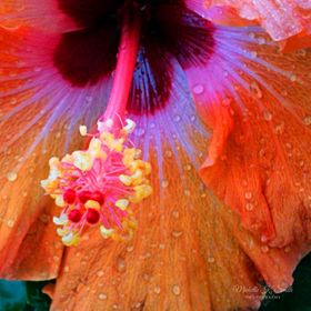 This hibiscus flower was the most vibrant color variation that I had ever seen and I was drawn to it's beauty!