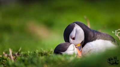 puffin cuddle