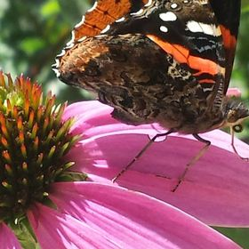Butterfly on a purple coneflower petal.