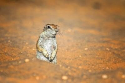 Ground Squirrel on Guard