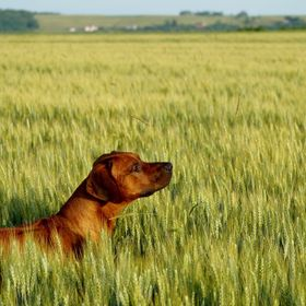 Arlo, my Rhodesian Ridgeback hound dog, loves our walks in the wheat fields, or corn fields.  Very luck to have been born in such a beautiful, ag...