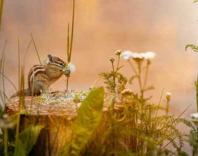 The chipmunk and the Dandelion